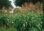 Photo Big Bluestem, Turkeyfoot Cereals description