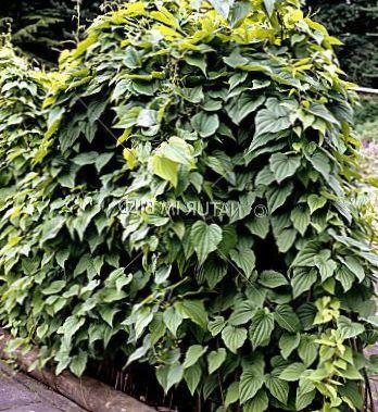 Fonc Vert Des Plantes D Coratives Dioscorea Caucasica Les