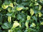 Photo Alternanthera Leafy Ornamentals description