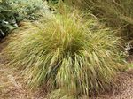 Photo Pheasant's Tail Grass, Feather Grass, New Zealand wind grass Cereals description