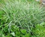 multicolor Ornamental Plants Yorkshire Fog, Creeping Velvet Grass cereals, Holcus Photo