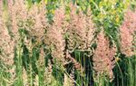 Photo Feather reed grass, Striped feather reed Cereals description