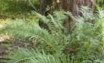 Photo Virginia Chain Fern  description