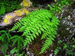 Photo Woodsia Ferns description