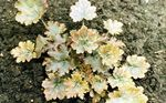 Photo Heuchera, Coral flower, Coral Bells, Alumroot Leafy Ornamentals description