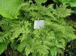 Photo Limestone Oak Fern, Scented Oak Fern  description