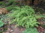 Photo Hay Scented Fern  description