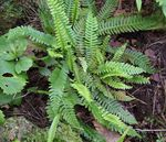 Photo Blechnum Ferns description