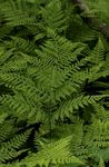 Photo Diplazium sibiricum Ferns description