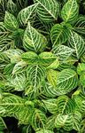 Photo Bloodleaf, Chicken Gizzard Leafy Ornamentals description