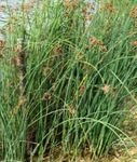 Photo The true Bulrush Aquatic Plants description