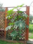 Photo Castor Bean, Caster Oil Plant, Mole Bean, Higuera Infernal Leafy Ornamentals description
