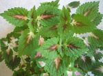 Photo Coleus, Flame Nettle, Painted Nettle Leafy Ornamentals description