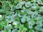 Photo Asarabacca, European Wild Ginger Leafy Ornamentals description