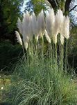 Photo Pampas grass Cereals description
