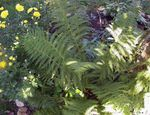 Photo Lady fern, Japanese painted fern  description