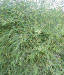 green Ornamental Plants Asparagus leafy ornamentals Photo