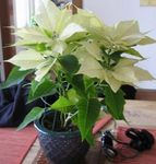 Photo Poinsettia, Noche Buena, , Christmas flower Leafy Ornamentals description