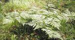 Photo Western Bracken Fern, Brake, Bracken, Northern Bracken Fern, Brackenfern  description