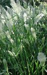 Photo Annual Beard-grass, Annual Rabbitsfoot Grass Cereals description