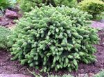 light blue Ornamental Plants Alberta Spruce, Black Hills Spruce, White Spruce, Canadian Spruce, Picea glauca Photo