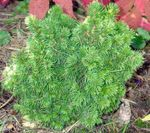 green Ornamental Plants Alberta Spruce, Black Hills Spruce, White Spruce, Canadian Spruce, Picea glauca Photo
