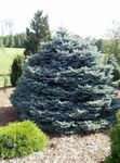 silvery Ornamental Plants Colorado Blue Spruce, Picea pungens Photo