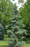 Photo Weeping deodar, Deodar Cedar, Himalayan Cedar description