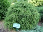 Photo Sawara cypress, Sawara False Cypress, Boulevard Cypress, Blue Moss Cypress description