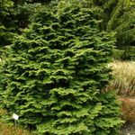 green Ornamental Plants Atlantic White Cedar, Hinoki False Cypress, Chamaecyparis Photo