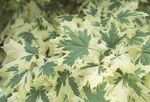 multicolor Ornamental Plants Maple, Acer Photo