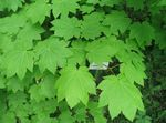 light green Ornamental Plants Maple, Acer Photo