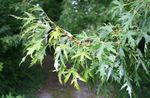 silvery Ornamental Plants Maple, Acer Photo