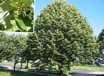 Common Lime, Linden Tree, Basswood, Lime Blossom, Silver Linden