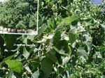 green Ornamental Plants Common Lime, Linden Tree, Basswood, Lime Blossom, Silver Linden, Tilia Photo