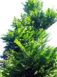green Ornamental Plants Dawn redwood, Metasequoia Photo