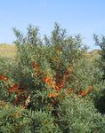Sea Buckthorn, Sea Berry