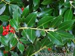 Photo Holly, Black alder, American holly description