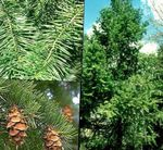 Photo Douglas Fir, Oregon Pine, Red Fir, Yellow Fir, False Spruce description