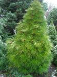 Photo Japanese Umbrella Pine description