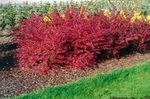 red Ornamental Plants Barberry, Japanese Barberry, Berberis thunbergii Photo