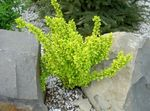 yellow Ornamental Plants Barberry, Japanese Barberry, Berberis thunbergii Photo