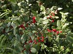Photo Silver Buffalo Berry, , Foamberry Soapberry, Soopalollie, Canadian Buffaloberry description