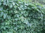 Photo Boston ivy, Virginia Creeper, Woodbine description