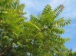Photo Tree of Heaven, Chinese Sumac, Stink Tree description
