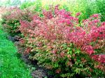 red Ornamental Plants Euonymus Photo