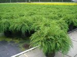 Photo Siberian Carpet Cypress description