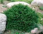 Photo Birdsnest spruce, Norway Spruce description