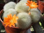 orange Indoor Plants Crown Cactus, Rebutia Photo