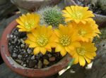 yellow Indoor Plants Crown Cactus, Rebutia Photo